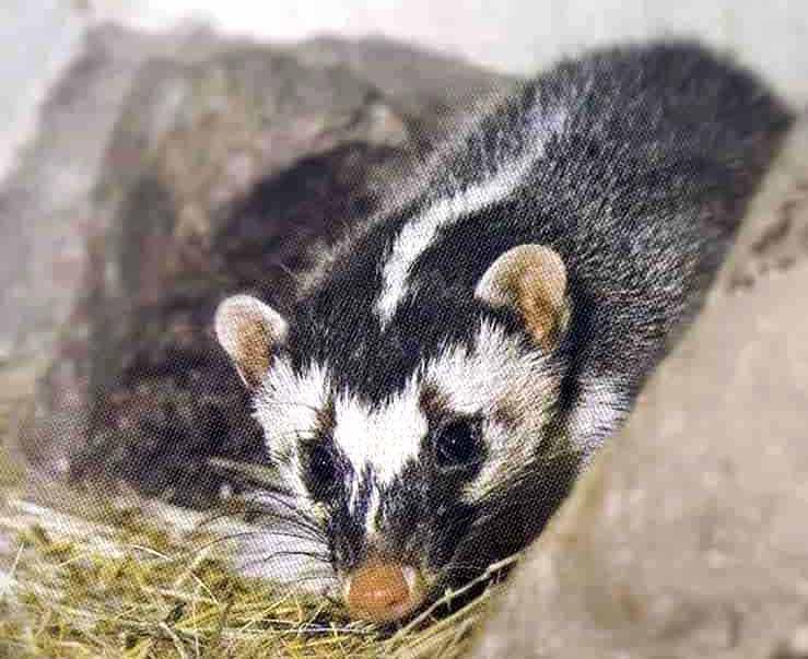 Javan Ferret-Badger – Profile   Traits   Facts   Range   Diet