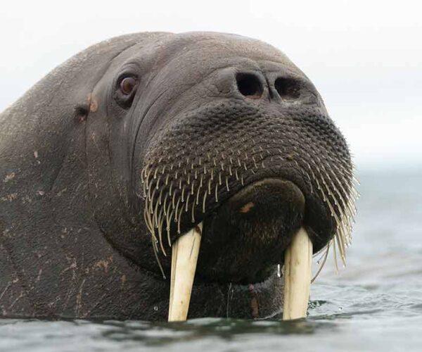 Laptev Walrus – Habitat   Profile   Traits   Facts   Diet   Threats