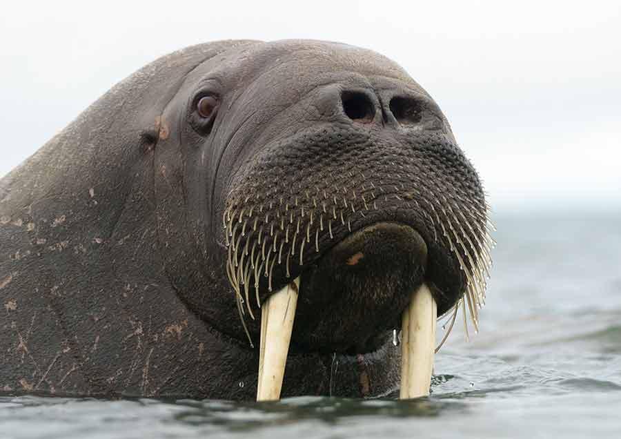 Laptev Walrus – Habitat | Profile | Traits | Facts | Diet | Threats