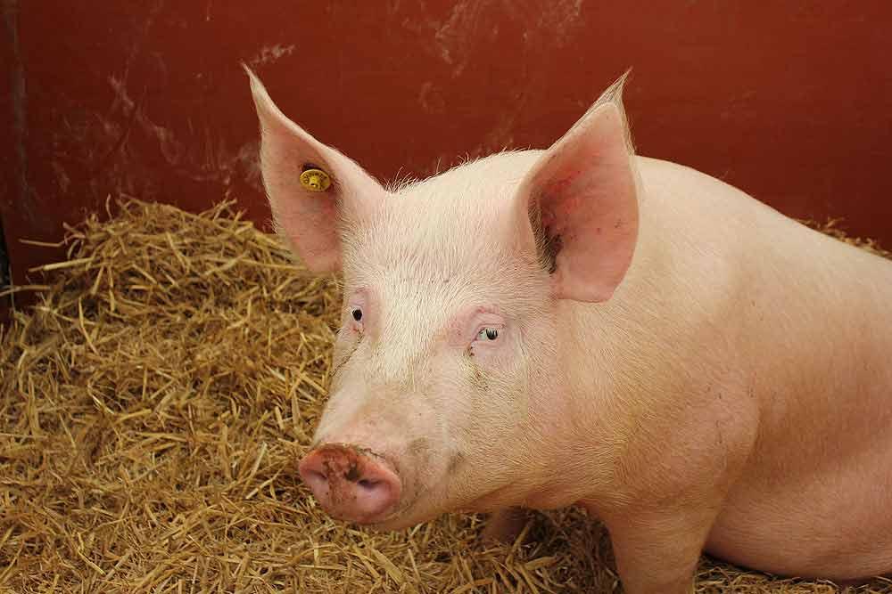 Large White Pig – Profile | Characteristics | Facts | Lifespan | Diet