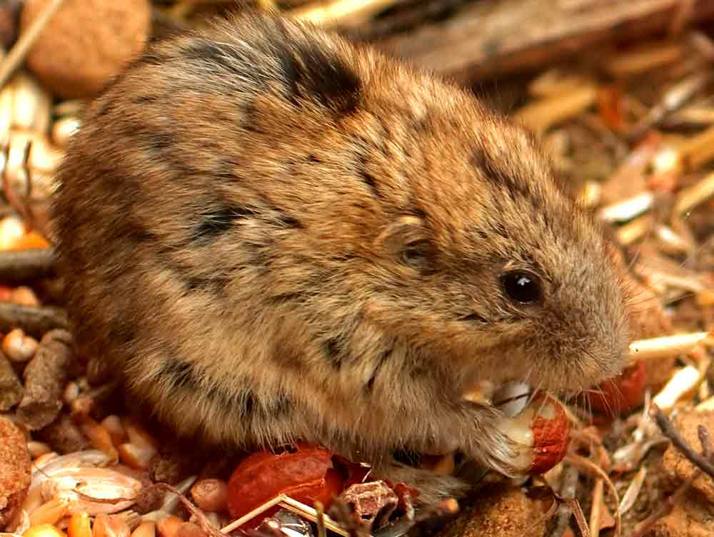 Lemmini Lemming – Profile | Traits | Facts | Animal | In Snow | Picture