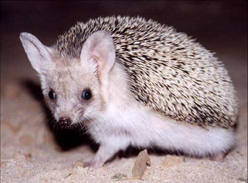 Long-Eared Hedgehog – Profile | Facts | Traits | Baby | Pet | Diet