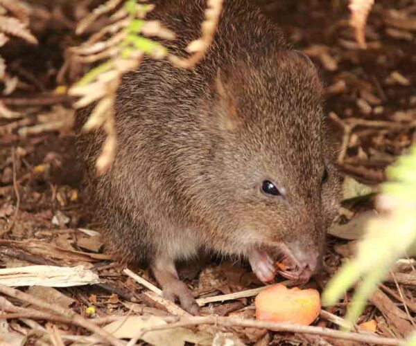 Long-Footed Potoroo – Profile | Facts | Traits | Diet | Distribution