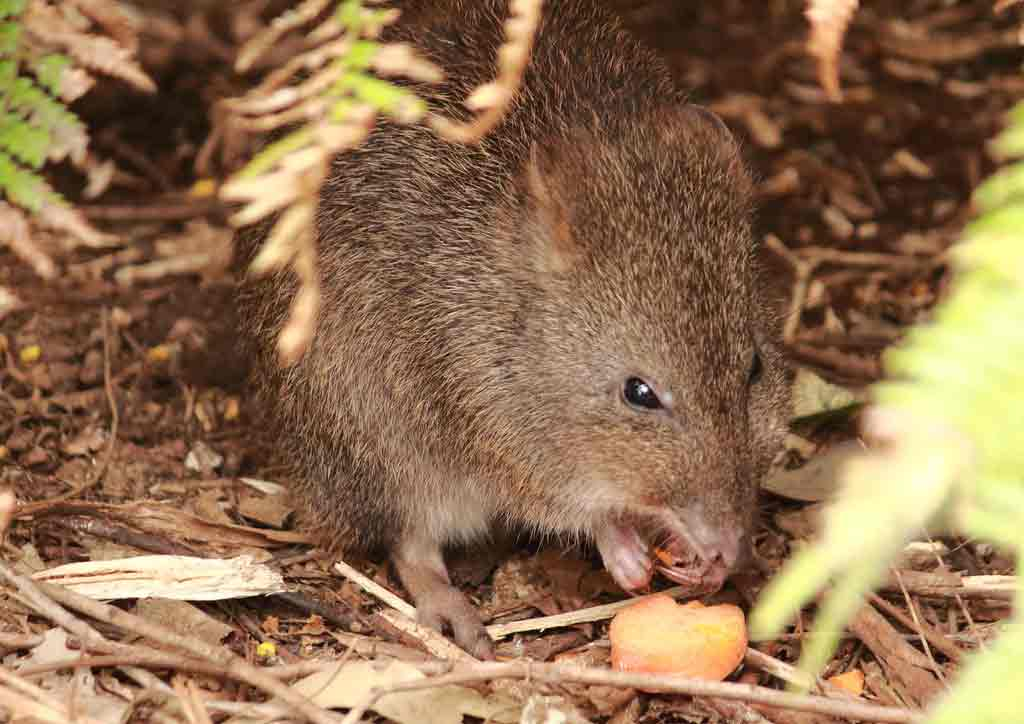 Long-Footed Potoroo – Profile   Facts   Traits   Diet   Distribution