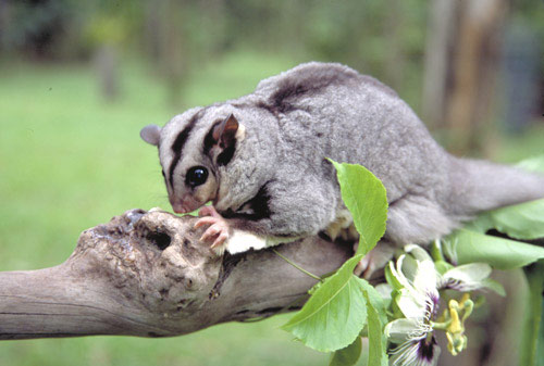 Mahogany Glider – Profile | Traits | Facts | Flying | Baby | Cute