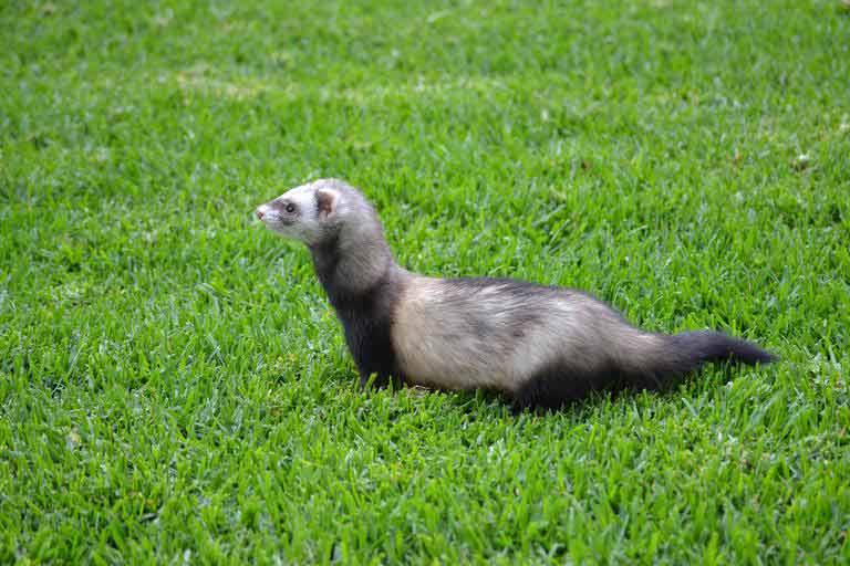Malayan Weasel – Profile | Traits | Facts | Range | Habitat | Size