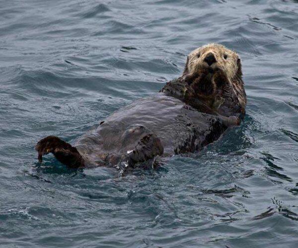 Marine Otter – Profile | Traits | Facts | Size | Range | Habitat | Food
