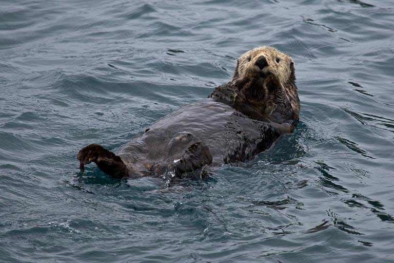 Marine Otter – Profile   Traits   Facts   Size   Range   Habitat   Food