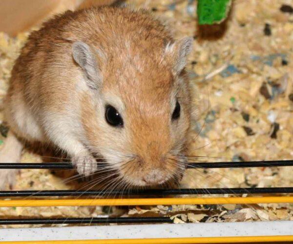 Mongolian Hamster – Profile | Facts | Traits | Dwarf | Range | Diet
