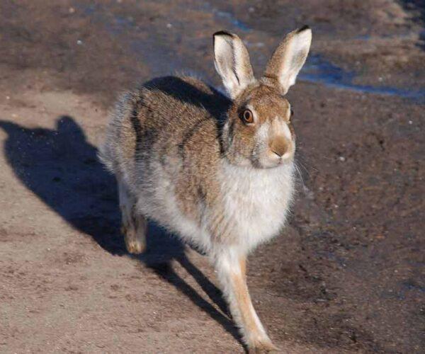 Mountain Hare – Profile   Traits   Facts   Run   Habitat   Footprints
