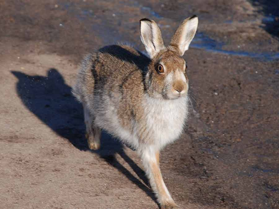 Mountain Hare – Profile | Traits | Facts | Run | Habitat | Footprints