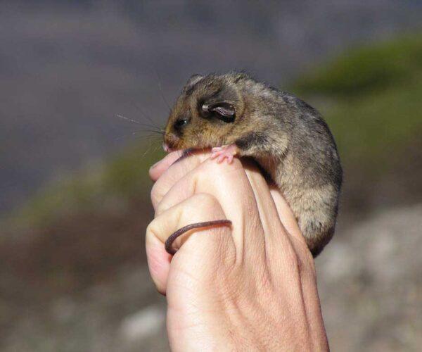Mountain Pygmy Possum – Profile | Traits | Facts | Habitat | Food