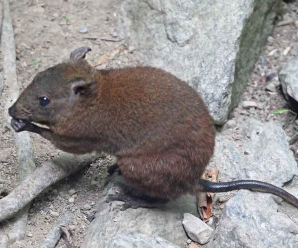 Musky Rat-Kangaroo – Profile | Traits | Facts | Habitat | Baby