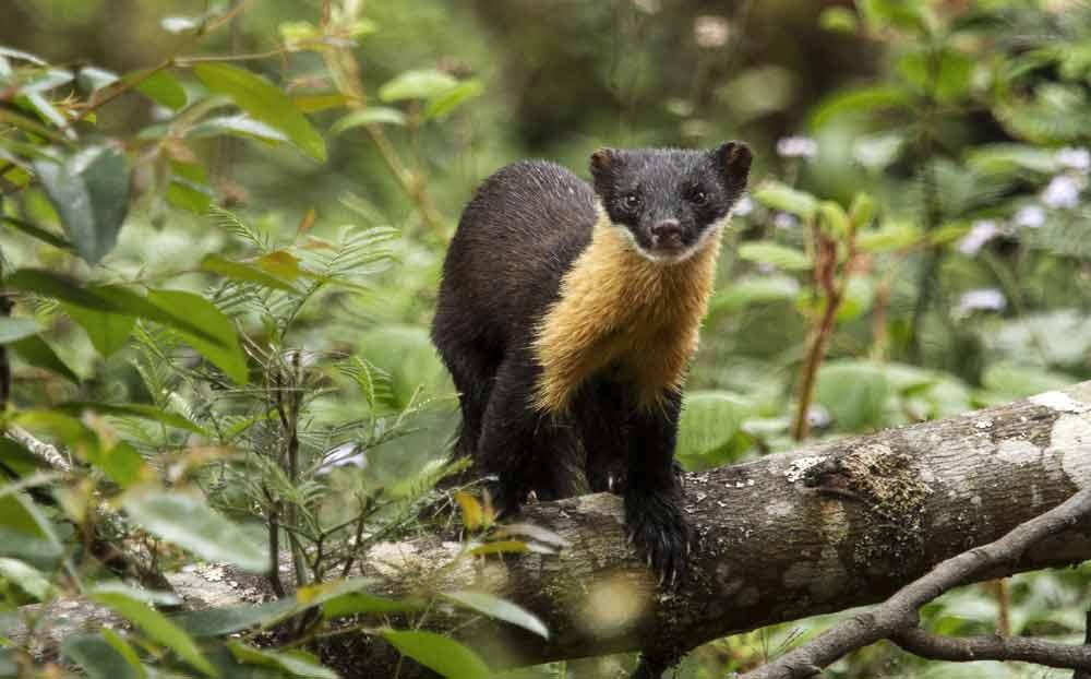 Nilgiri Marten – Animal | Profile | Traits | Facts | Baby | Cute
