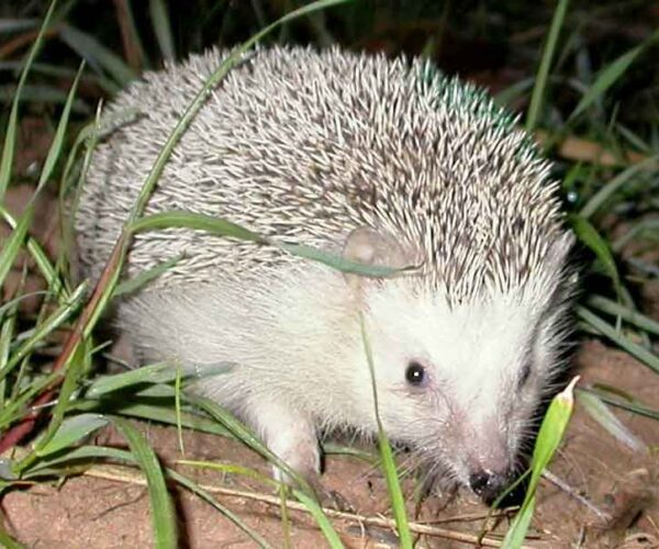 North African Hedgehog – Profile | Facts | Traits | Lifespan | Habitat