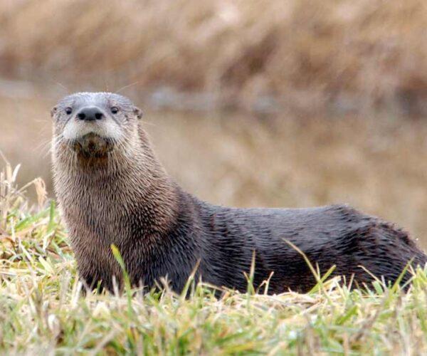 North American River Otter – Profile | Traits | Facts | Habitat | Size