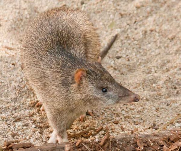 Northern Brown Bandicoot – Profile | Traits | Facts | Habitat | Diet