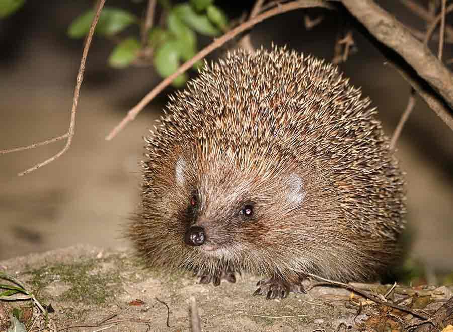 Northern White-Breasted Hedgehog – Profile | Facts | Traits