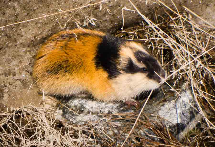 Norwegian Lemming – Profile | Traits | Facts | Attack | Aggressive