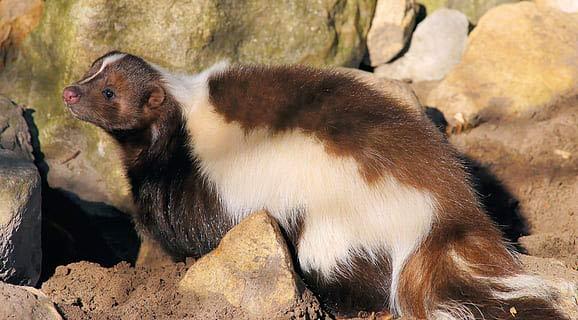 Palawan Stink Badger – Profile | Physical Characteristics | Classification
