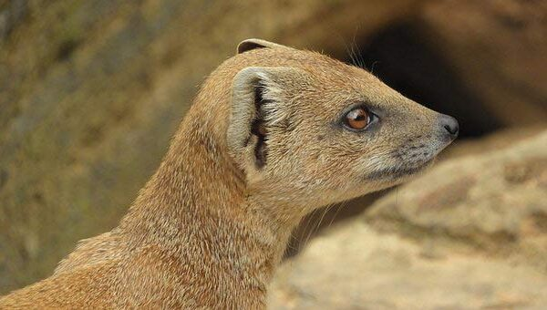 Patagonian Weasel – Profile | Traits | Facts | Behavior | Range