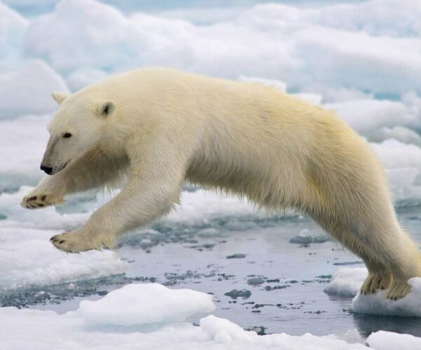 Polar Bear – Facts | Profile | Traits | Cub | Cute | Size | Height