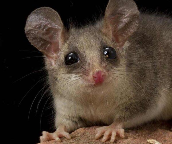 Pygmy Possum – Profile | Traits | Facts | Teeth | Cute | Babies