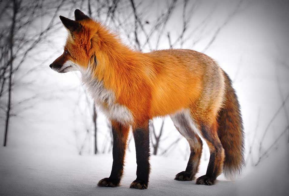 Red Fox – Profile | Traits | Facts | Eyes | Color | Denning | Diet