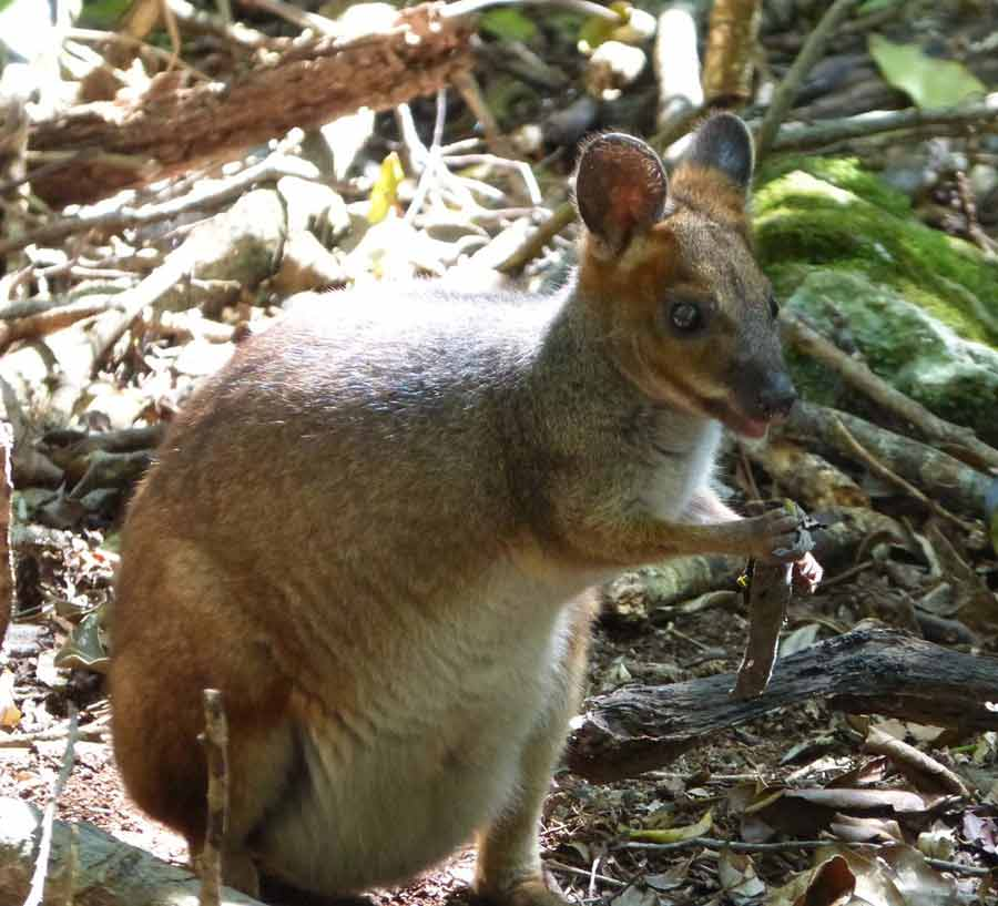 Red-Legged Pademelon – Profile | Traits | Facts | Diet | Distribution