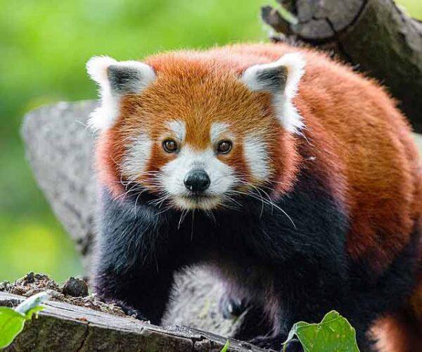 Red Panda – Behavior | Profile | Traits | Facts | Baby |  Cute | Range