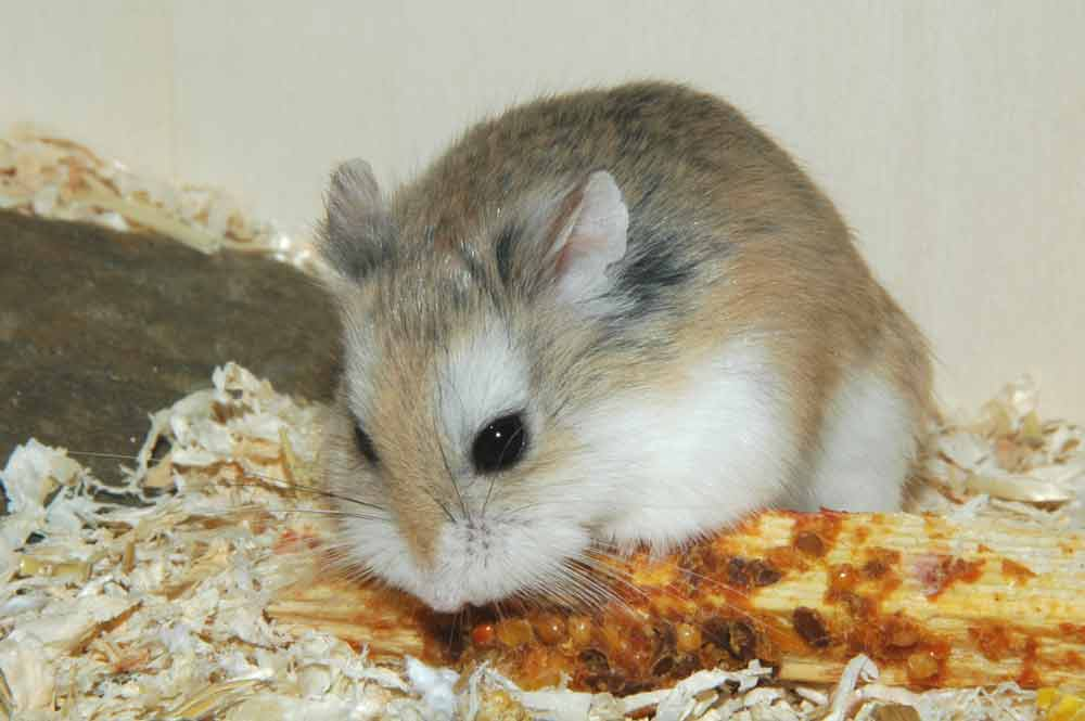 Romanian Hamster – Profile | Facts | Traits | Diet | Range | Baby