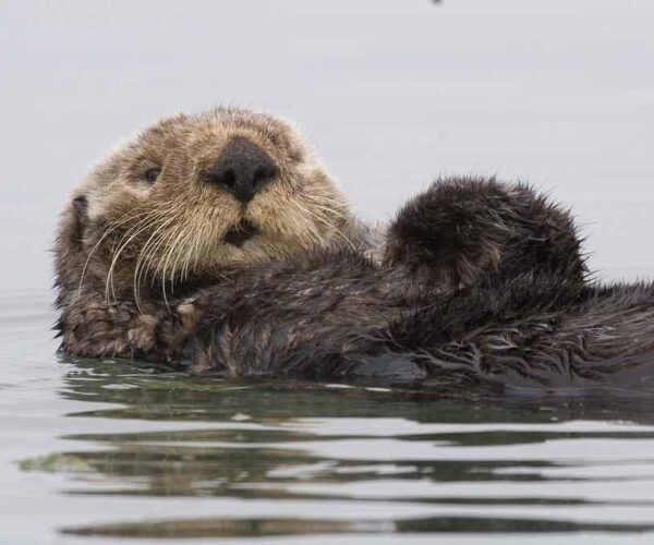 Sea Otter – Profile   Traits   Facts   Eating   Legs   Baby   Cute