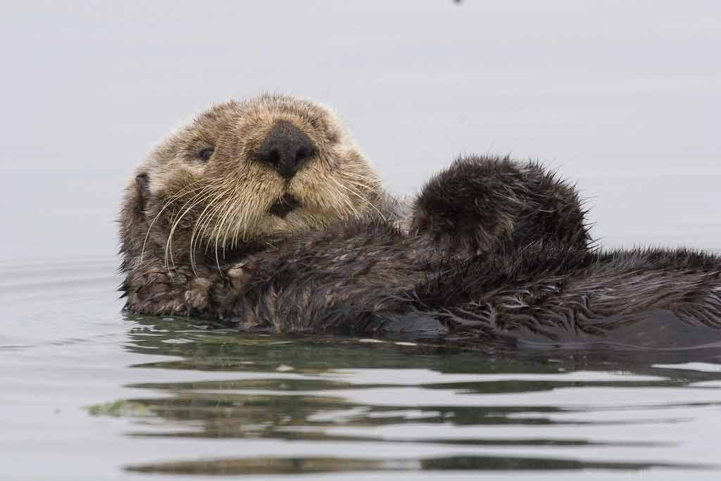 Sea Otter – Profile | Traits | Facts | Eating | Legs | Baby | Cute