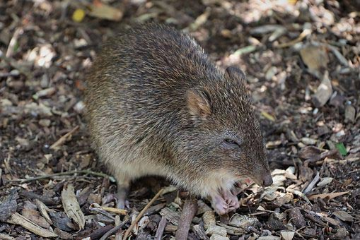 Short-Nosed Bandicoot – Profile | Traits | Facts