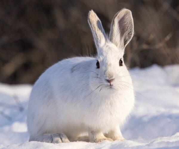 Snowshoe Hare – Profile   Fur   Color   Traits   Facts   Feet   Habitat