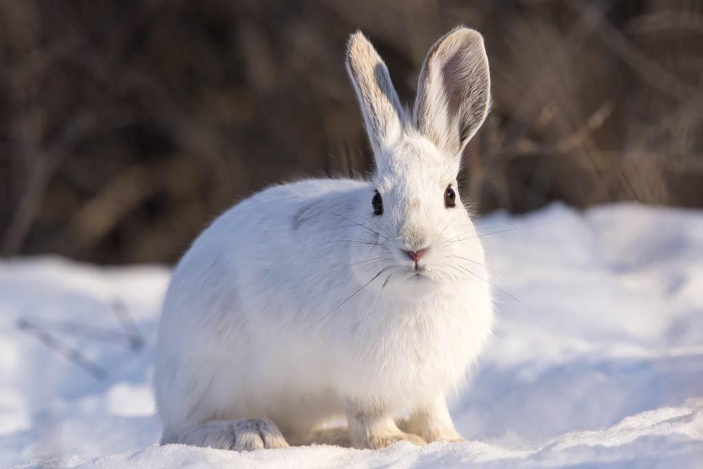 Snowshoe Hare – Profile | Fur | Color | Traits | Facts | Feet | Habitat