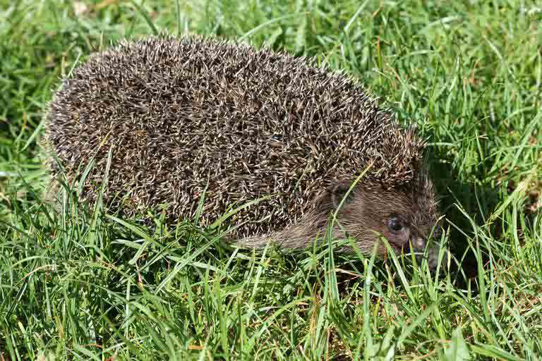 Somali Hedgehog – Profile | Facts | Traits | Diet | Distribution