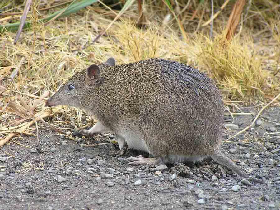 Southern Brown Bandicoot – Profile | Traits | Facts | Habitat | baby