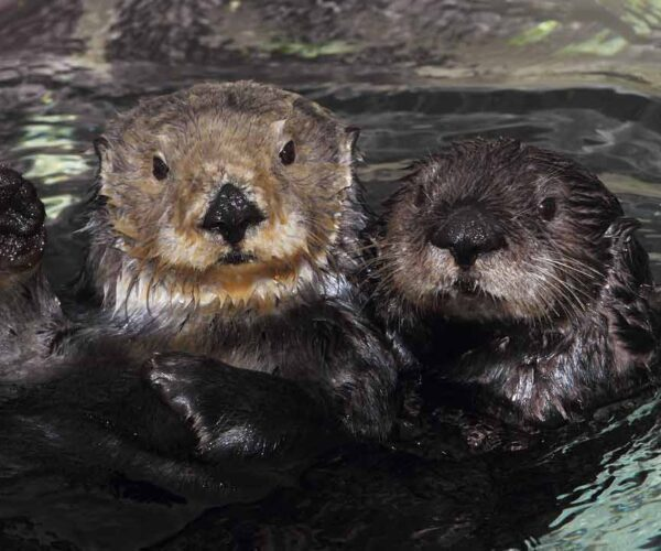 Southern River Otter – Profile | Traits | Facts | Diet | Baby | Behavior