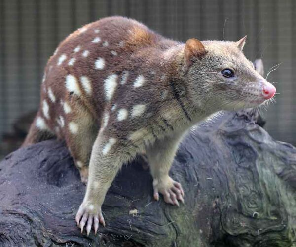 Spotted-Tail Quoll – Profile | Traits | Facts | Habitat | Size