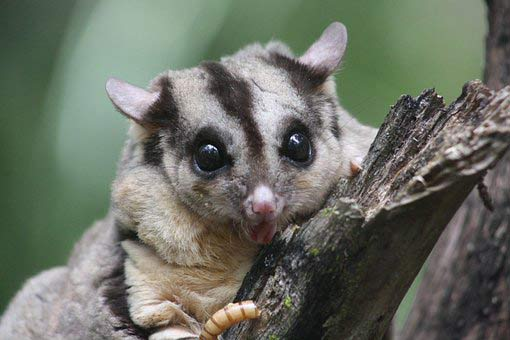 Squirrel Glider – Profile | Traits | Facts | Tail | Cute | baby | Flying