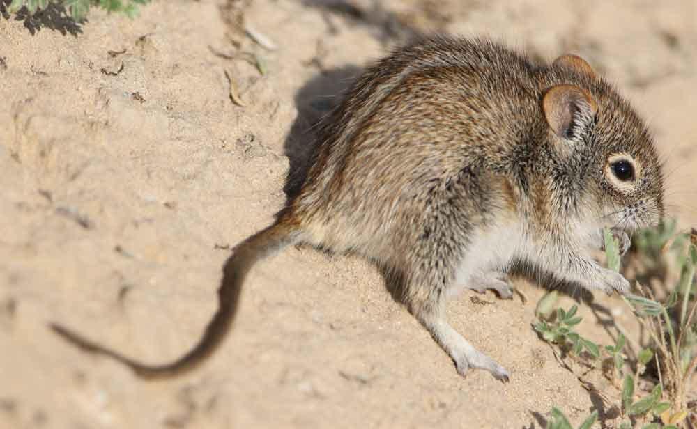 Striped Grass Mouse – Profile | Traits | Facts | Pet | Habitat | Diet