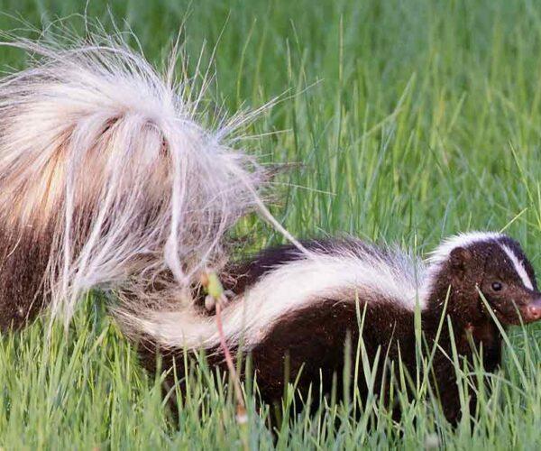 Striped Polecat – Profile | Traits | Facts | Pet | Poop | Baby | Range