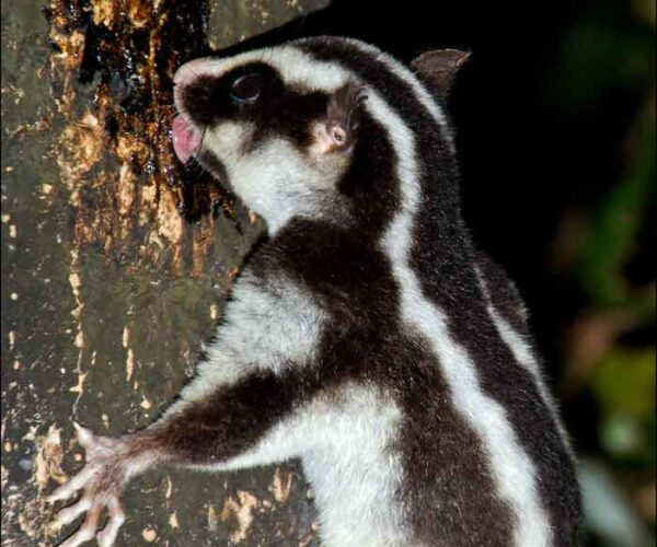 Striped Possum – Profile | Traits | Facts | Pet | Diet | Call | Tail