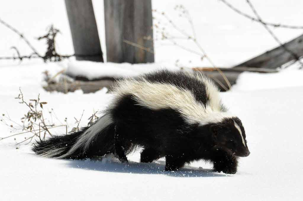 Sunda Stink Badger – Profile   Traits   Facts   Behavior   Diet