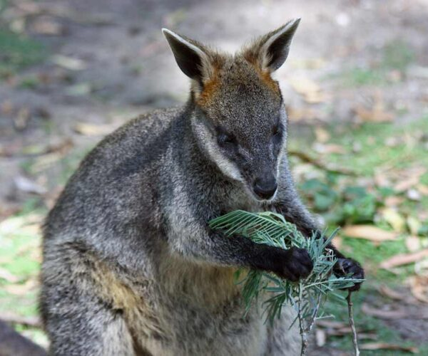 Swamp Wallaby – Profile | Traits | Facts | Tracks | Habitat | Baby