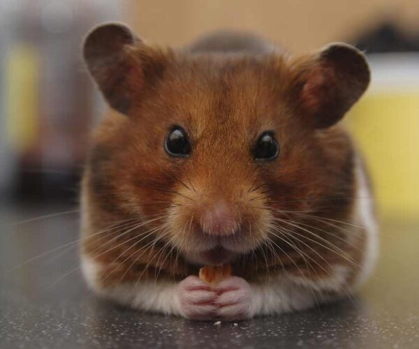 Syrian Hamster – Profile | Facts | Traits | Size | Color | Cute | Poop