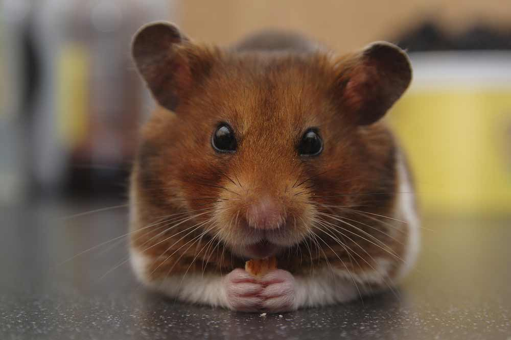 Syrian Hamster – Profile   Facts   Traits   Size   Color   Cute   Poop