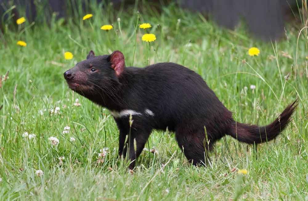 Tasmanian Devil – Animal | Profile | Traits | Facts | Baby | Diet