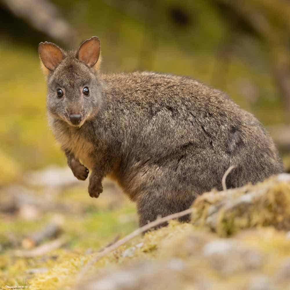Tasmanian Pademelon – Profile   Traits   Facts   Juvenile   Size